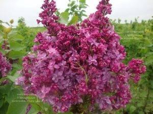 Сирень Президент Лубе (Syringa vulgaris President Loubet) ФОТО Питомник растений Природа (Priroda) (2)