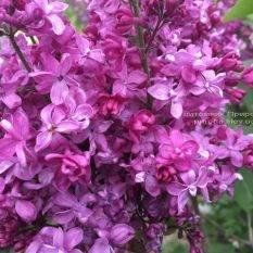 Сирень Президент Лубе (Syringa vulgaris President Loubet) ФОТО Питомник растений Природа (Priroda) (7)