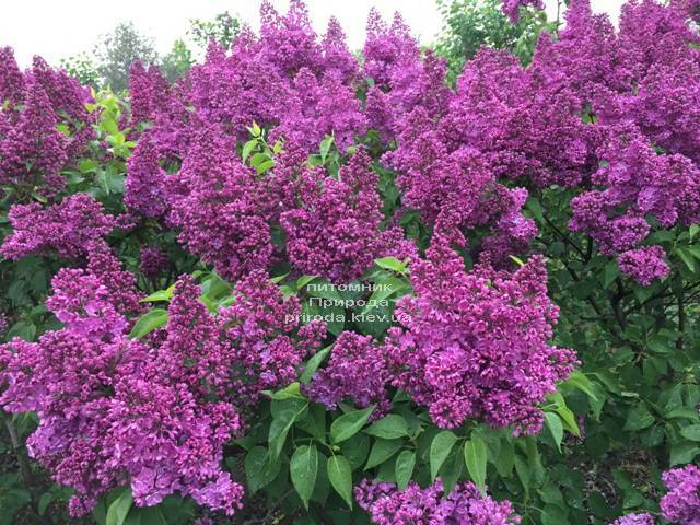 Сирень Реомюр (Syringa vulgaris Reomjur) ФОТО Питомник растений Природа (Priroda) (11)