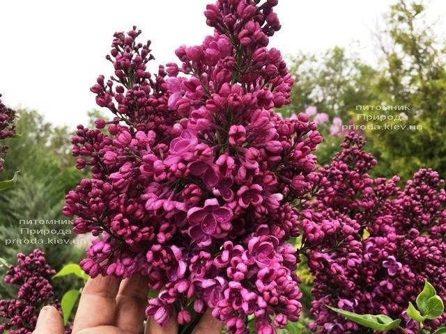Сирень Реомюр (Syringa vulgaris Reomjur) ФОТО Питомник растений Природа (Priroda) (8)