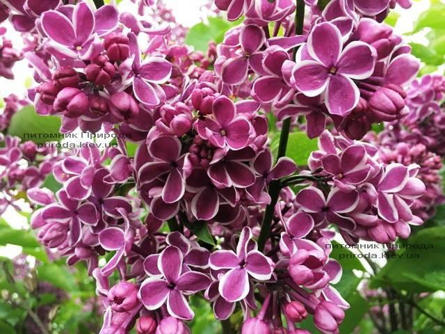 Сирень Сенсация (Syringa vulgaris Sensation) ФОТО Питомник растений Природа (Priroda) (5)