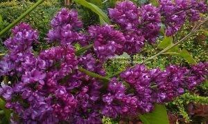 Сирень Шарль Жоли (Syringa vulgaris Charles Joly) ФОТО Питомник растений Природа (Priroda) (4)