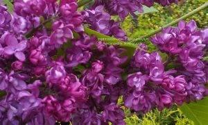 Сирень Шарль Жоли (Syringa vulgaris Charles Joly) ФОТО Питомник растений Природа (Priroda) (5)