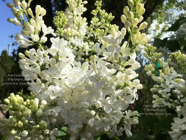 Сирень Весталка (Syringa vulgaris Vestalka) ФОТО Питомник растений Природа (Priroda) (5)