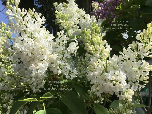 Сирень Весталка (Syringa vulgaris Vestalka) ФОТО Питомник растений Природа (Priroda) (6)