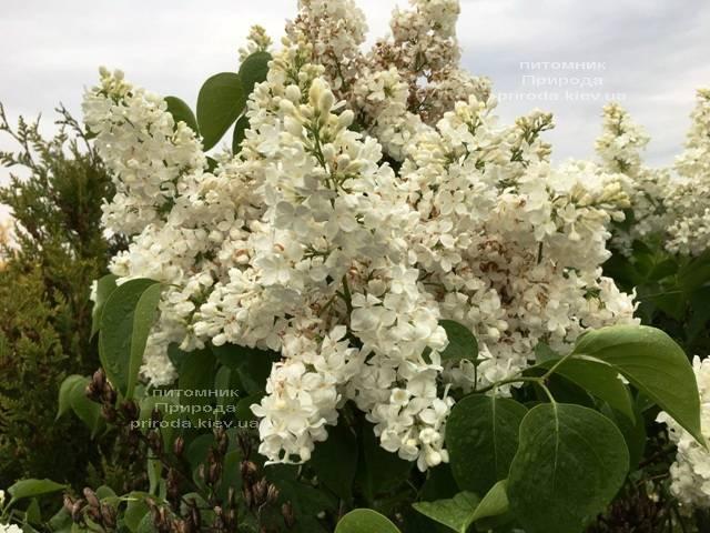 Сирень Весталка (Syringa vulgaris Vestalka) ФОТО Питомник растений Природа (Priroda) (7)