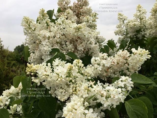 Сирень Весталка (Syringa vulgaris Vestalka) ФОТО Питомник растений Природа (Priroda) (8)
