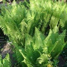 Страусник обыкновенный (Папоротник) (Matteuccia struthiopteris) ФОТО Питомник растений Природа (Priroda) (2)
