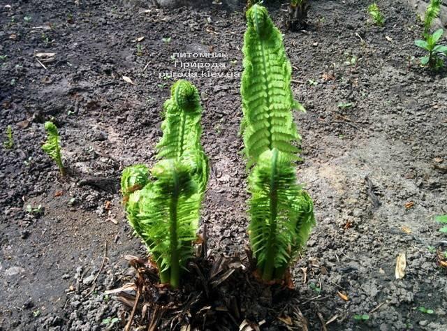 Страусник обыкновенный (Папоротник) (Matteuccia struthiopteris) ФОТО Питомник растений Природа (Priroda) (5)