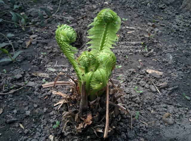 Страусник обыкновенный (Папоротник) (Matteuccia struthiopteris) ФОТО Питомник растений Природа (Priroda) (6)