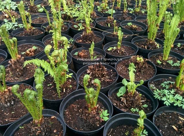 Страусник обыкновенный (Папоротник) (Matteuccia struthiopteris) ФОТО Питомник растений Природа (Priroda) (8)