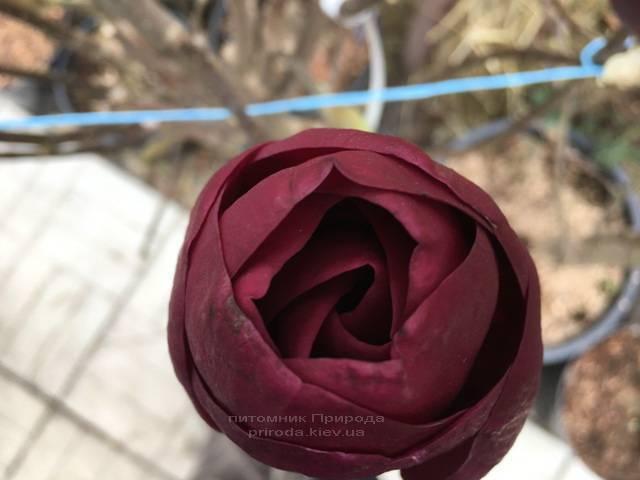 Магнолия Блэк Тюлип (Magnolia Black Tulip) ФОТО Питомник растений Природа (Priroda) (12)
