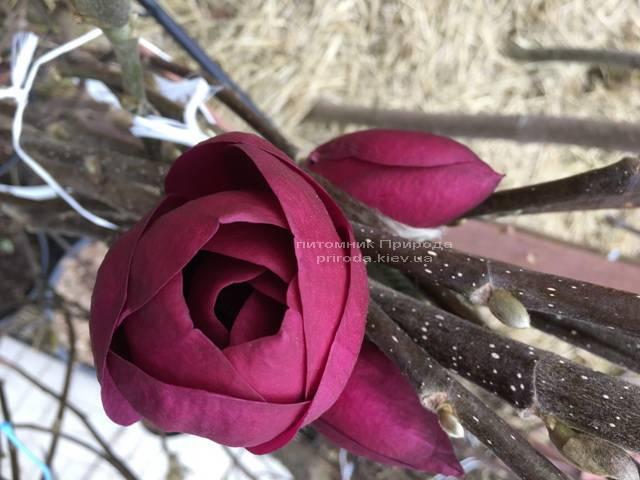 Магнолия Блэк Тюлип (Magnolia Black Tulip) ФОТО Питомник растений Природа (Priroda) (13)
