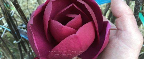 Магнолия Блэк Тюлип (Magnolia Black Tulip) ФОТО Питомник растений Природа (Priroda) (14)