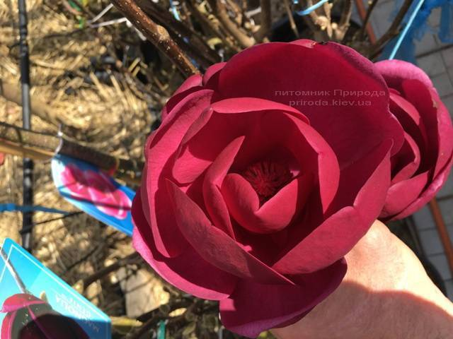 Магнолия Блэк Тюлип (Magnolia Black Tulip) ФОТО Питомник растений Природа (Priroda) (15)