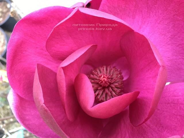 Магнолия Блэк Тюлип (Magnolia Black Tulip) ФОТО Питомник растений Природа (Priroda) (16)