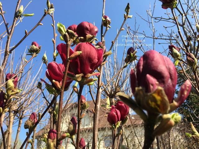 Магнолия Блэк Тюлип (Magnolia Black Tulip) ФОТО Питомник растений Природа (Priroda) (17)