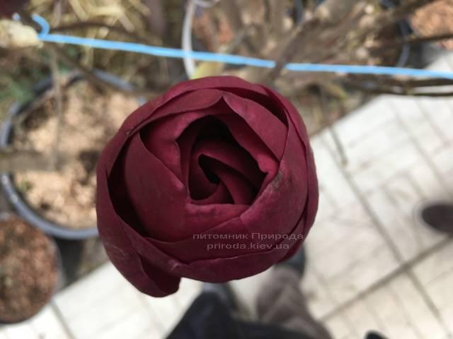 Магнолия Блэк Тюлип (Magnolia Black Tulip) ФОТО Питомник растений Природа (Priroda) (2)