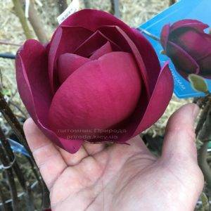 Магнолия Блэк Тюлип (Magnolia Black Tulip) ФОТО Питомник растений Природа (Priroda) (4)