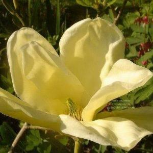 Магнолия Элизабет (Magnolia Elizabeth) (1)