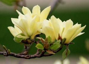 Магнолия Элизабет (Magnolia Elizabeth) (3)