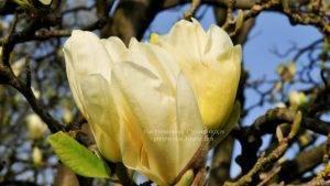 Магнолия Элизабет (Magnolia Elizabeth) (4)