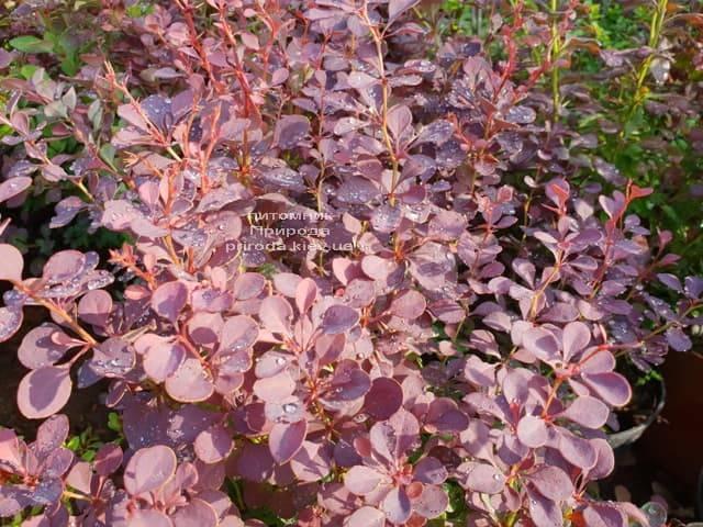 Барбарис Тунберга Атропурпуреа (Berberis thunbergii Atropurpurea) ФОТО Питомник растений Природа (Priroda) (3)