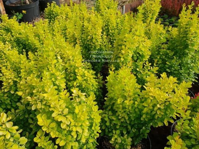 Барбарис Тунберга Голден Рокет (Berberis thunbergii Golden Rocket) ФОТО Питомник растений Природа (Priroda) (1)