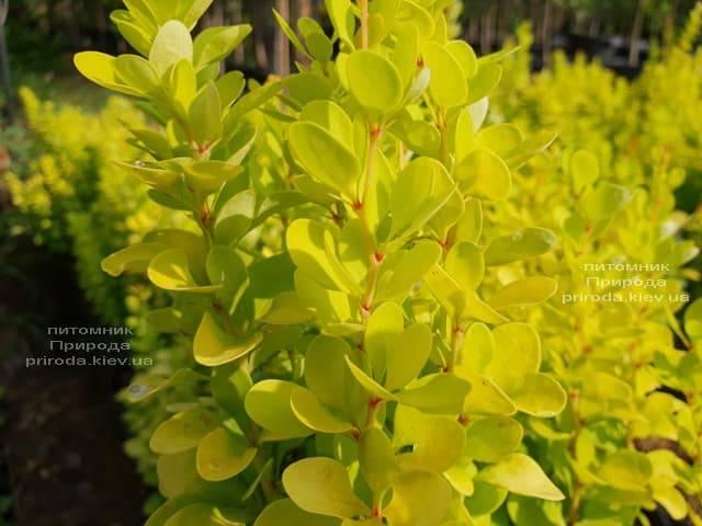 Барбарис Тунберга Голден Рокет (Berberis thunbergii Golden Rocket) ФОТО Питомник растений Природа (Priroda) (2)
