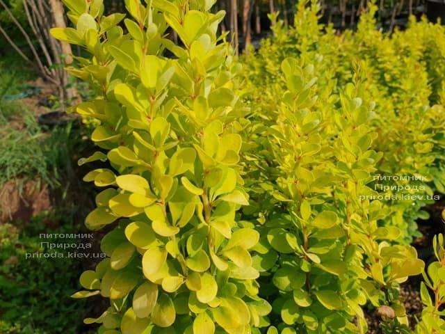 Барбарис Тунберга Голден Рокет (Berberis thunbergii Golden Rocket) ФОТО Питомник растений Природа (Priroda) (3)