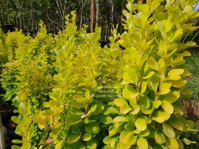 Барбарис Тунберга Голден Рокет (Berberis thunbergii Golden Rocket) ФОТО Питомник растений Природа (Priroda) (4)
