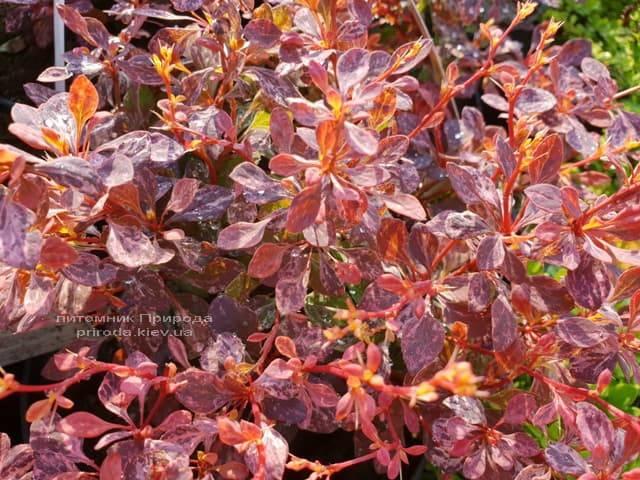 Барбарис Тунберга Инспирейшн (Berberis thunbergii Inspiration) ФОТО Питомник растений Природа (Priroda) (1)