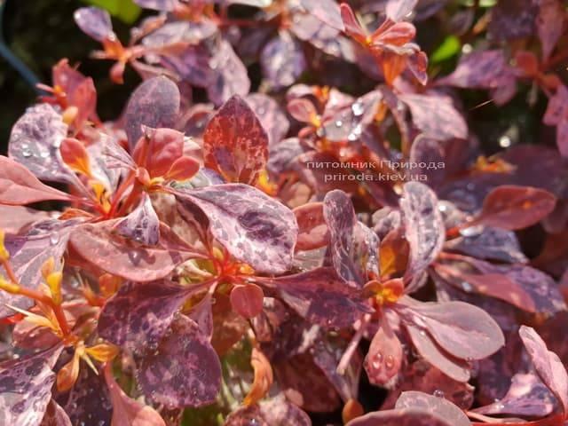 Барбарис Тунберга Инспирейшн (Berberis thunbergii Inspiration) ФОТО Питомник растений Природа (Priroda) (3)