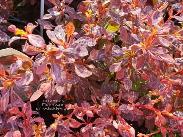 Барбарис Тунберга Инспирейшн (Berberis thunbergii Inspiration) ФОТО Питомник растений Природа (Priroda) (4)