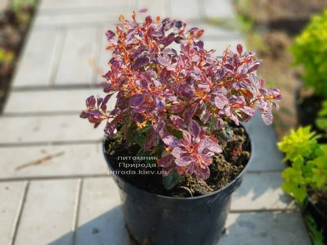 Барбарис Тунберга Инспирейшн (Berberis thunbergii Inspiration) ФОТО Питомник растений Природа (Priroda) (5)
