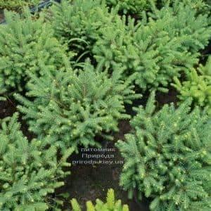 Ель обыкновенная Нидиформис (Picea abies Nidiformis) ФОТО Питомник растений Природа (Priroda) (1)