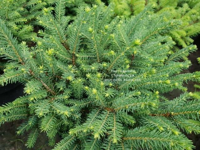 Ель обыкновенная Нидиформис (Picea abies Nidiformis) ФОТО Питомник растений Природа (Priroda) (2)