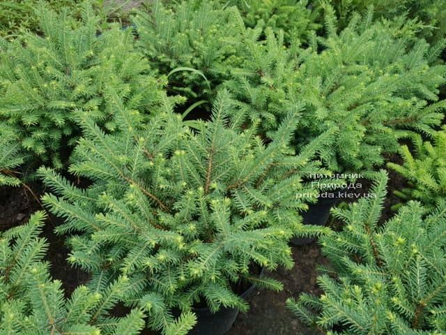 Ель обыкновенная Нидиформис (Picea abies Nidiformis) ФОТО Питомник растений Природа (Priroda) (3)