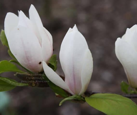 Магнолия Суланжа Амабилис (Magnolia soulangeana Amabilis) ФОТО Питомник растений Природа (Priroda) (2)