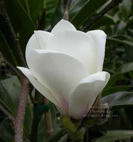 Магнолия Суланжа Ленней Альба (Magnolia soulangeana Lennei Alba) (1)