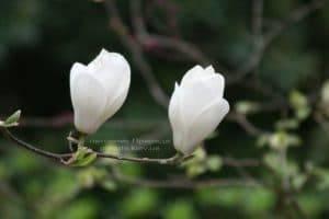 Магнолия Суланжа Ленней Альба (Magnolia soulangeana Lennei Alba) (3)