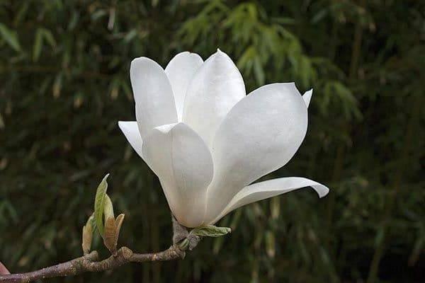 Магнолия Суланжа Ленней Альба (Magnolia soulangeana Lennei Alba) (4)