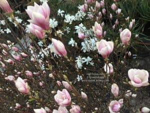 Магнолия Суланжа Суперба (Magnolia soulangeana Superba) ФОТО Питомник растений Природа (Priroda) (1)