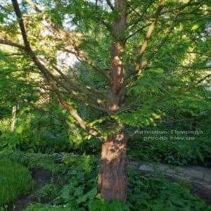 Метасеквойя китайская (Metasequoia glyptostroboides) ФОТО Питомник растений Природа Priroda (1)