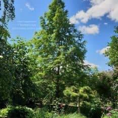 Метасеквойя китайская (Metasequoia glyptostroboides) ФОТО Питомник растений Природа Priroda (10)