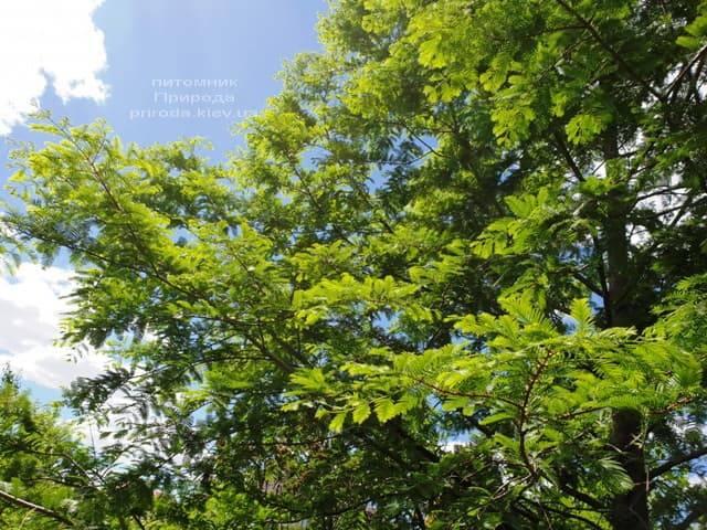 Метасеквойя китайская (Metasequoia glyptostroboides) ФОТО Питомник растений Природа Priroda (11)
