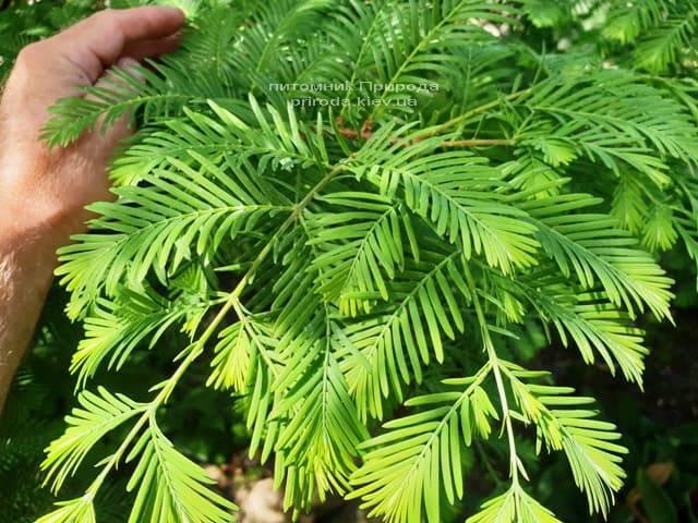 Метасеквойя китайская (Metasequoia glyptostroboides) ФОТО Питомник растений Природа Priroda (13)