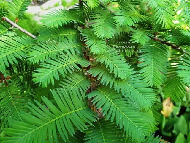 Метасеквойя китайская (Metasequoia glyptostroboides) ФОТО Питомник растений Природа Priroda (14)