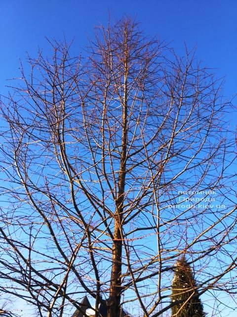 Метасеквойя китайская (Metasequoia glyptostroboides) ФОТО Питомник растений Природа Priroda (18)