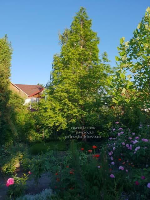 Метасеквойя китайская (Metasequoia glyptostroboides) ФОТО Питомник растений Природа Priroda (19)